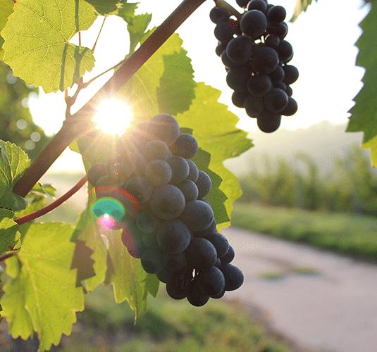 Colheita da uva é aberta no RS com estimativa de 600 mil toneladas